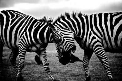 Kämpfende Zebras, schwarz weiß